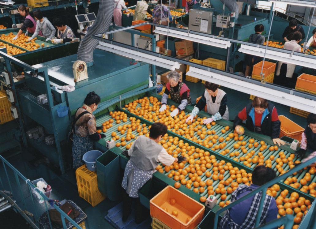 Image of About Fruit Sorting Factory